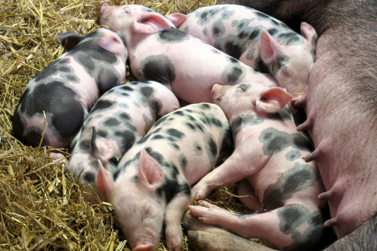 Nace cerdo mutante con cara de humano — China