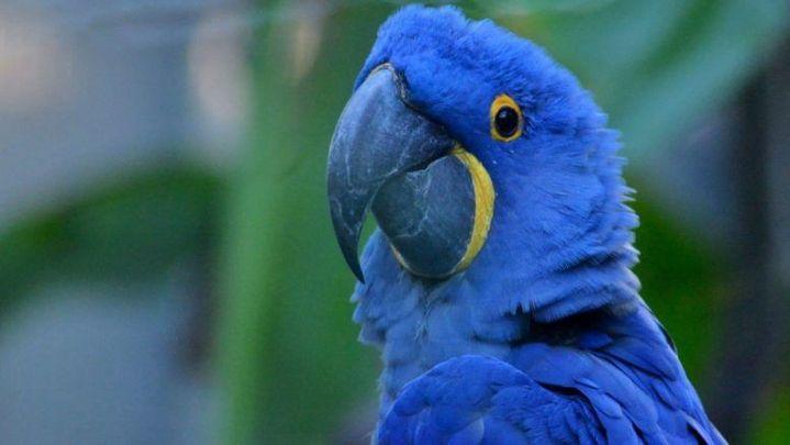 Nace cría de Guacamayo Azul, ave que se creía extinta