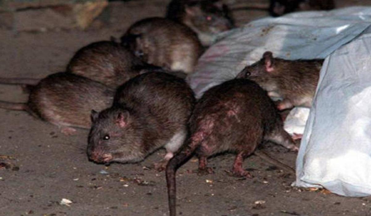Servicios de exterminio de ratas