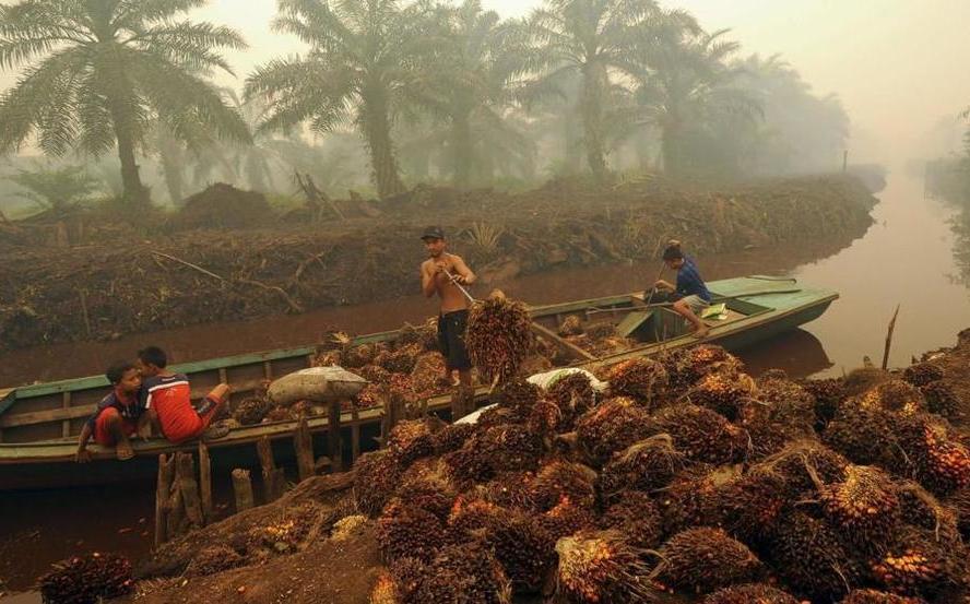 El chocolate que comes podría provenir de matanza de orangutanes - Milenio