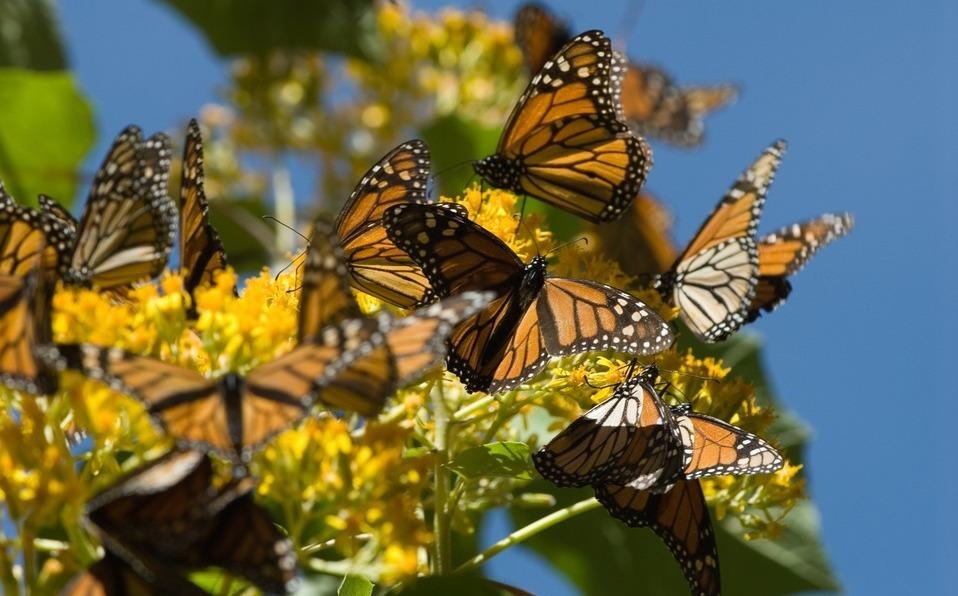 En Michoacán, hallan nuevo santuario de la mariposa monarca - Milenio