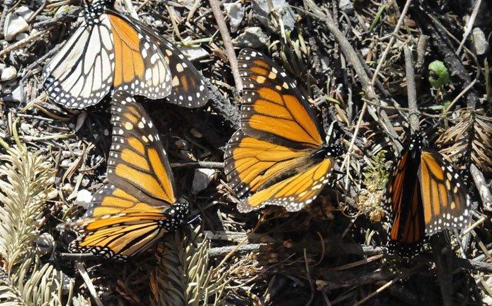 Conanp niega nuevo santuario de monarcas en Michoacán - Milenio.com