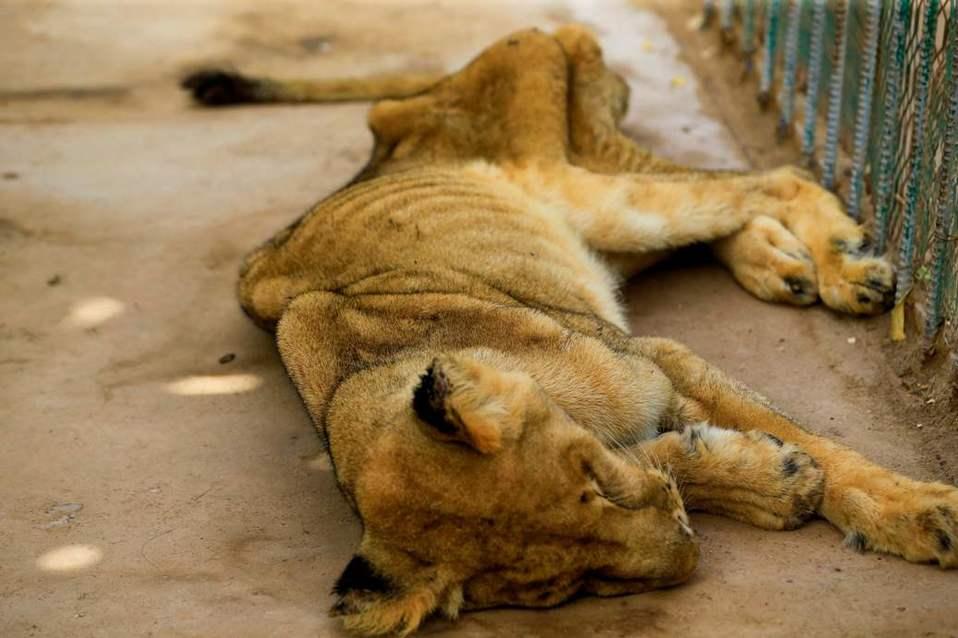 Cinco leones al borde de la muerte por desnutrición — Fotos impactantes