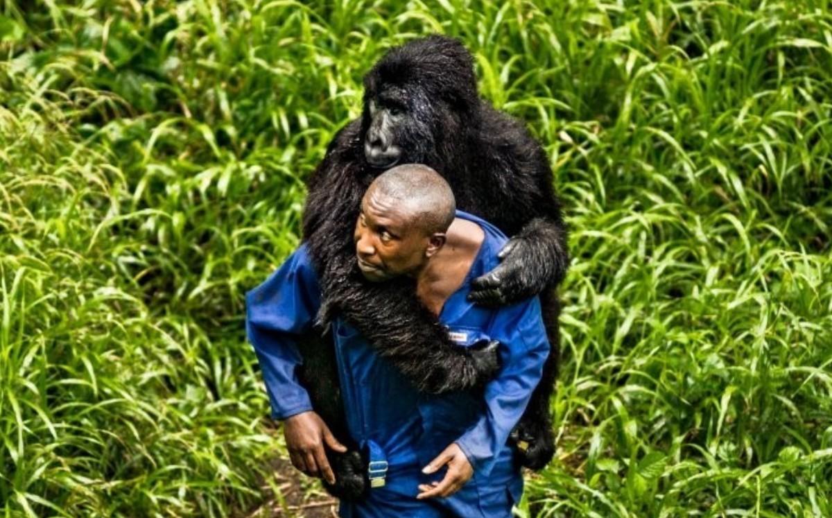 Gorila huérfana se aferra a cuidador como si fuera su padre (Fotos)