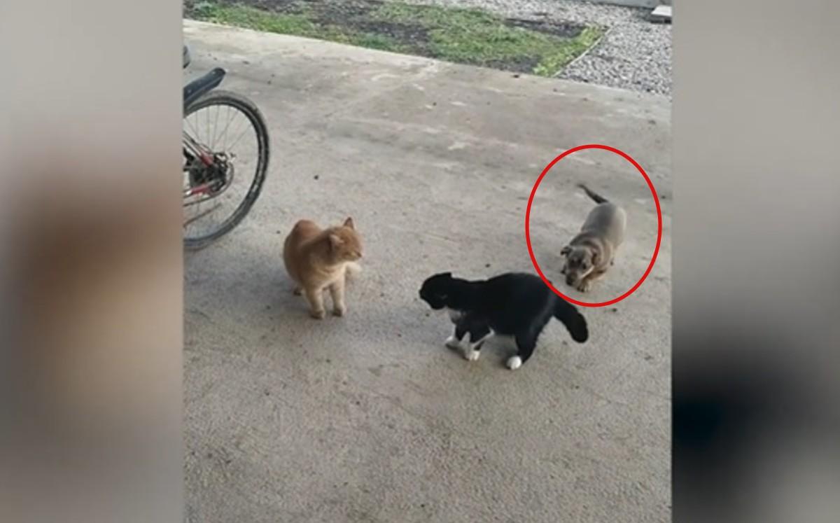 Rusia Perro Enloquece Al Ver A Dos Gatos Peleando Videos Virales